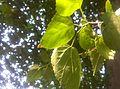 Mulberry plant p.jpg