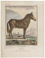 Mulus hybridus - 1700-1880 - Print - Iconographia Zoologica - Special Collections University of Amsterdam - UBA01 IZ21700035.tif