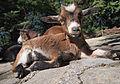 Munchen Zoo - goat 4.jpg