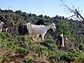 Murzo chèvres.jpg