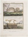 Mus sylvaticus - met skelet - 1700-1880 - Print - Iconographia Zoologica - Special Collections University of Amsterdam - UBA01 IZ20500089.tif