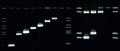 MycoDerm Dermatophyten PCR bei Verdacht auf Dermatomykose.tif