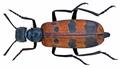 Mylabris (Eumylabris) calida (Pallas, 1782) (14320174692).png