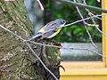Myrtle Warbler - Ottawa, ON.jpg