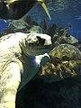 Myrtle the Green Sea Turtle 10.jpg