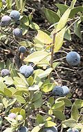 Myrtus fruits.jpg