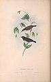 Myzomela nigra Gould 1848.jpg