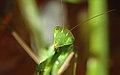 NKN-2007-08-18 081218 praying mantis (Yvan Leduc author for Wikipedia).jpg