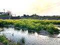 Nanohana in Utsutsu river - 1.jpg