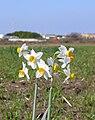 Narcissus tazetta subsp. tazetta.jpg