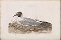Nederlandsche vogelen (KB) - Chroicocephalus ridibundus (154b).jpg