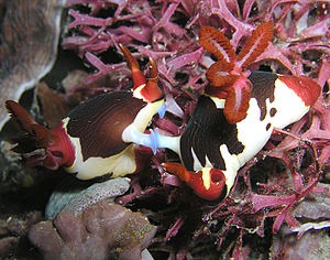 Nudibranch - Mating behavior in Nembrotha purpureolineata