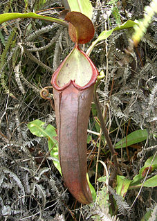 <i>Nepenthes beccariana</i> species of plant