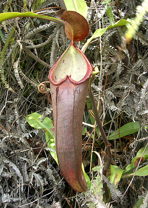 Nepenthes beccariana - An upper pitcher of a plant resembling the type specimen of Nepenthes beccariana, found near Sibolga, Sumatra