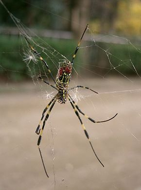 Description de l'image Nephila_clavata1.jpg.
