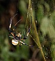 Nephila clavipes VS Apis mellifera.jpg