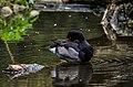 Netta peposaca (Rosy-billed Pochard - Peposakaente) - Weltvogelpark 2012-02.jpg