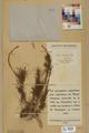 Neuchâtel Herbarium - Larix decidua - NEU000003683.tif