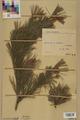 Neuchâtel Herbarium - Pinus sylvestris - NEU000003768.tif