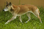 New Guinea Singing Dog Wallpaper