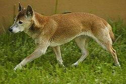 Canis lupus hallstromi