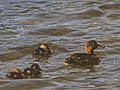 New Zealand Scaup (female) with chicks 3.jpg