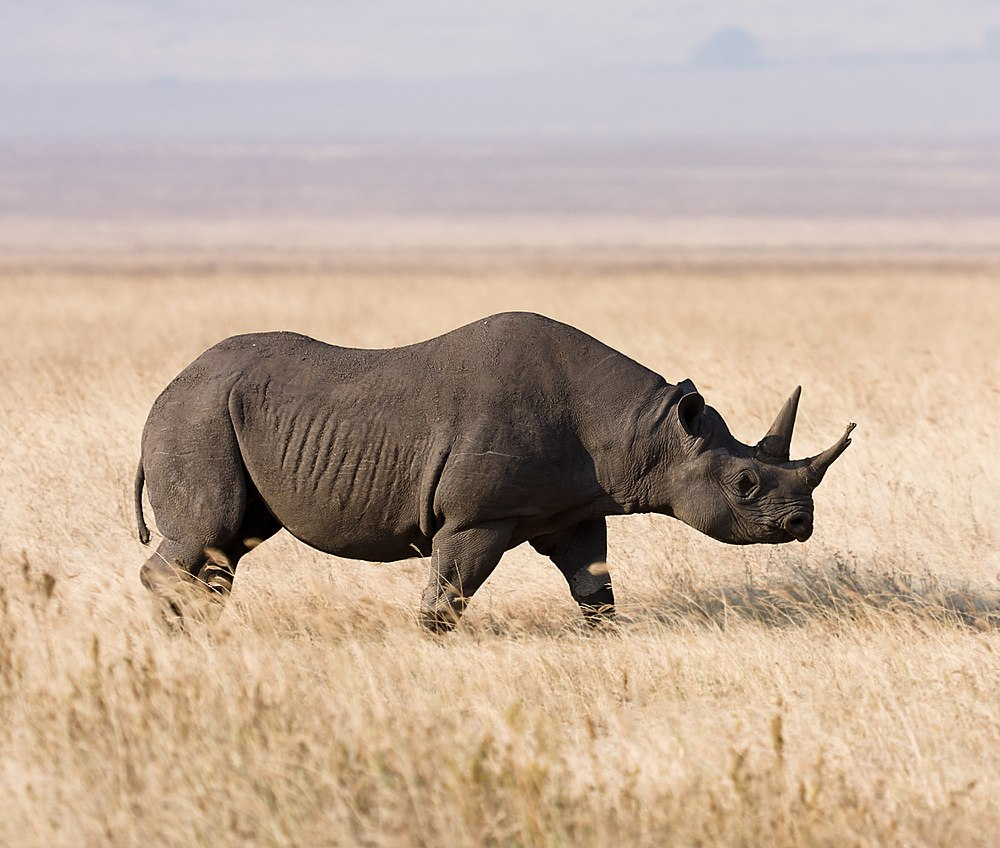 The average litter size of a Black rhinoceros is 1