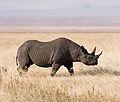Ngorongoro Spitzmaulnashorn edit1crop.jpg