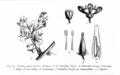 Nitrariaceae Nitraria retusa.png