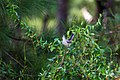 Northern mockingbird (44862637952).jpg