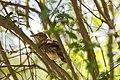 Northern mockingbird (46954917424).jpg