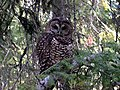 Northern spotted owl (14906620093).jpg