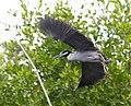 Nyctanassa violacea - Yellow crowned heron in flight.jpg