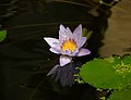 Nymphaea King Of The Blues A.jpg