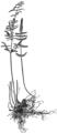 OFH-046 Pellaea atropurpurea.png