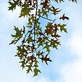 Oak (30896483950).jpg