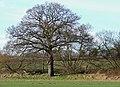 Oak Tree in Farmland, near Ashwood, Staffordshire - geograph.org.uk - 658526.jpg
