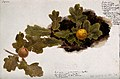 Oak leaves with two oak apples. Watercolour drawing. Wellcome V0043560.jpg