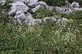 Oberna behen (Caryophyllaceae) (33002498750).jpg