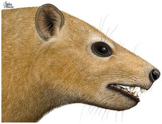 <i>Ocepeia</i> Extinct Afrotherian mammal
