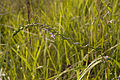Odontites vernus val-de-grace-amiens 80 11092007 1.jpg