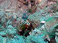 Odontodactylus scyllarus4.jpg