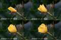 Oenothera (Ger~Nachtkerze) flower unfurling in 4 phases.png