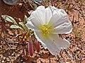 Oenothera deltoides 1.jpg