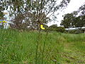 Oenothera stricta (5143817269).jpg
