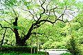 Omaki-Sakura takeno.jpg