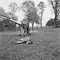 Ontginning, vee in de weide, algemene beelden, turfsteekreportage, paarden, Bestanddeelnr 160-0087.jpg