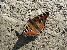Open wing position of Aglais caschmirensis Kollar, 1844 – Indian Tortoiseshell WLB IMG 1469 (1).jpg