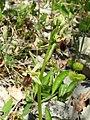 Ophrys sphegodes 23.jpg