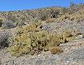 Opuntia phaeacantha 12.jpg